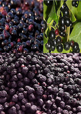 10 Chilean Wineberry Berry Seeds TASTY BERRIES HIGH IN ANTIOXIDANT COMPOUNDS