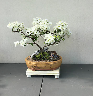 white bougainvillea bonsai - perfect for valentines day!