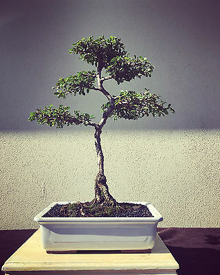 Traditional Bonsai Elm