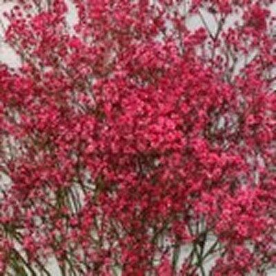 Baby's Breath- Red- 200 Seeds - 50 % off sale