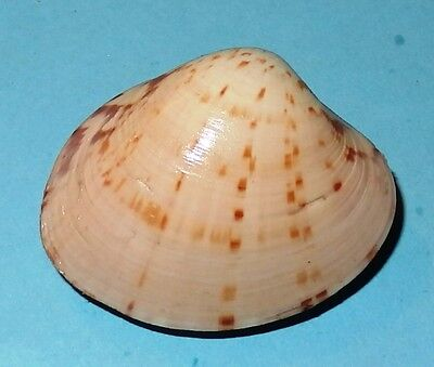 Australian Seashell -  VENERIDAE - Notocallista kingi - 37.5mm - F+   #4560