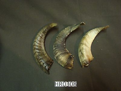 Small ram horn set assorted colors wildlife outdoors rustic HR0308
