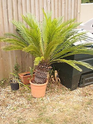 sago palm plant cycas very large