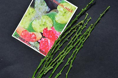 Finger Lime Budwood: Grafting for Professionals:19 species available