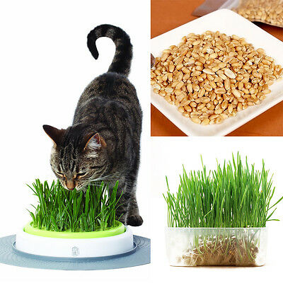1Bag Harvested Cat Grass 1oz/approx 800 Seeds Organic Including Growing Guide
