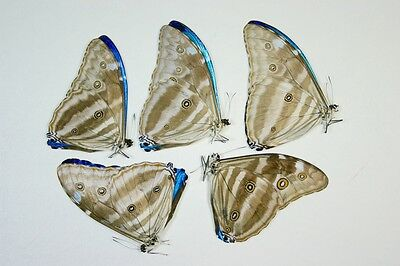 5 Morpho adonis in A1 condition