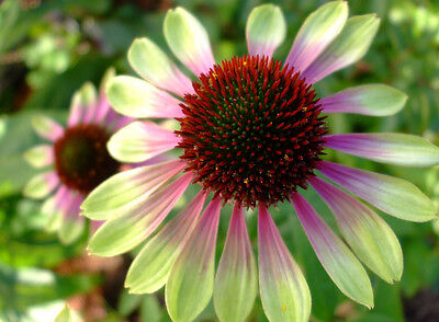 1 Bag Coneflower -Green (rare color)-100 Seeds Ornamental Beautiful Garden