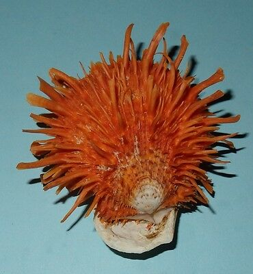 Philippines Seashell - Spondylus variegatus ORANGE 62.7mm - F++ #5604