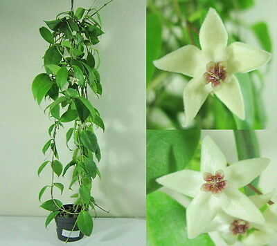 HOYA PAZIAE 'ilis marie' Blooming Size, 15 Inches Healthy Mature Plant