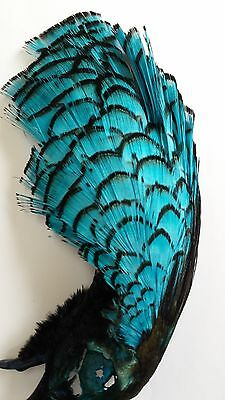 "Lady Amherst Head Pheasant  "" Kingfisher Blue ""   Fly Tying"