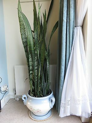 mother in laws tongue plant sansevieria and china pot indoor plant