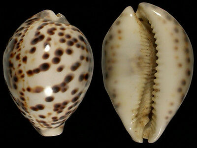 7086 Cypraea tigris SPECIAL - 83,0 mm - f++++ - Philippines -  BRIGHT ONE!