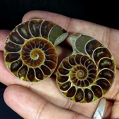 138.70Cts Natural Ammonite Gemstone Fancy Cabochon Nice Matched Pair For Earring
