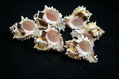 3 Beautiful Pink Murex Regius Sea Shell Seashell 3 To 4 Inches Hermit Crab