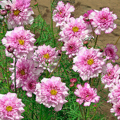 Kings Seeds - Cosmos Double Click Bicolour Pink - 60 Seeds