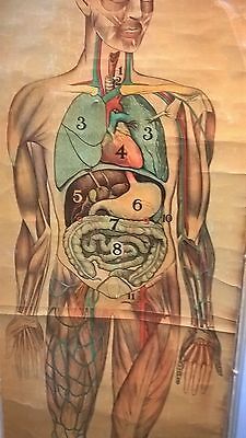 Vintage Anatomical Pull Down Medical Chart Of The Human Body