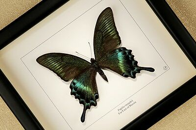 Papilio maackii Alpine Black Swallowtail real framed butterfly  insect taxidermy