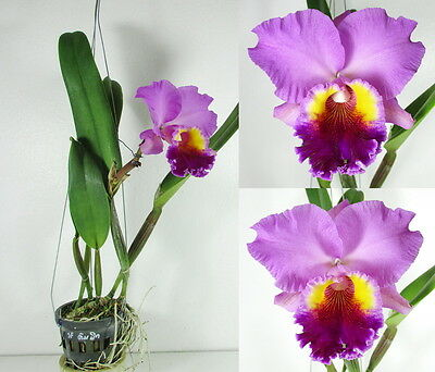 CATTLEYA LC.DRUMBEAT 'HERITAGE' Blooming size, Strong Fragrance