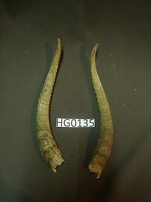 Goat horn pair outdoors wildlife hill country HG0135