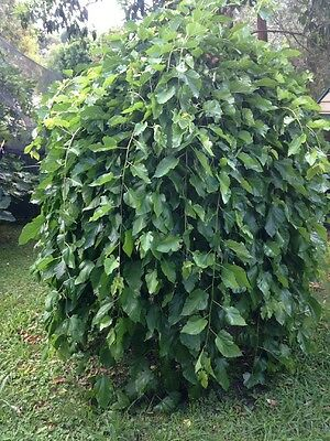 Weeping Boysenberry Tree Approximately 2m High