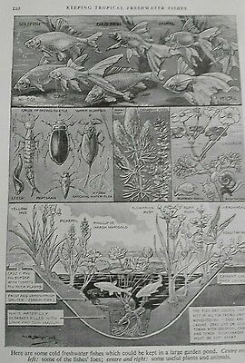 Vintage BookPlate Print KEEPING TROPICAL FRESHWATER FISHES 1930s LR.Brightwell