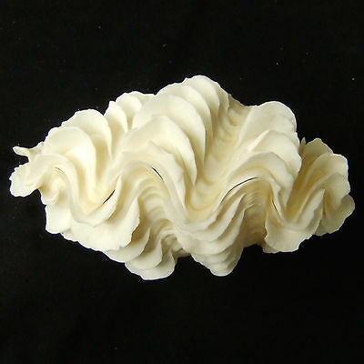 1 Pair Tridacna Squamosa Fluted Giant Scaly Clam Seashell 13.5cm Free Ship 307d
