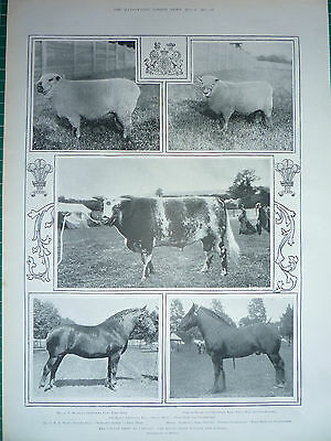 The Cattle Show At Cardiff, 1901.