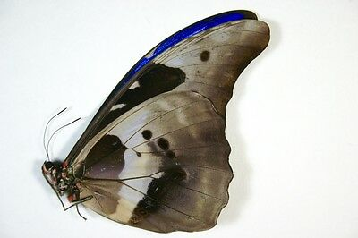 1 large Morpho helena male in A1 condition