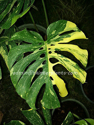 "RARE Philodendron ""Monstera Giant Yellow Variegated"" Beautiful Leaf +Free Phyto"
