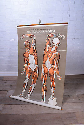 Anatomical Muscular System Pull Down Chart Poster Medical Anatomy Bones Human