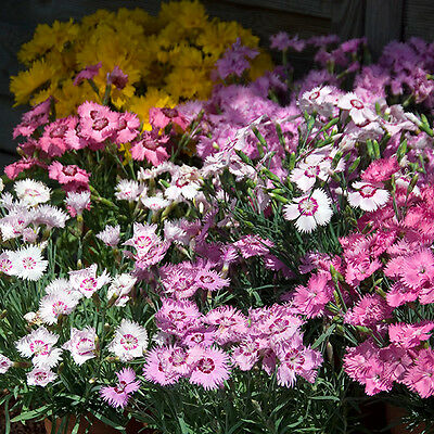Kings Seeds - Dianthus Sweetness Mixed - 50 Seeds