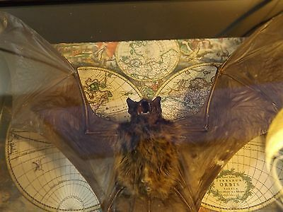 Real Bat taxidermy Mounted shadowbox gift moth butterfly art beetle goth
