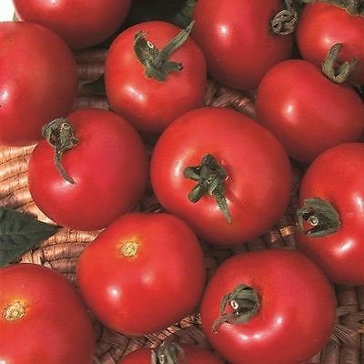 Kings Seeds - Tomato, Moneymaker (appx 75 seeds)