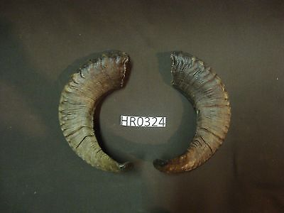 Big ram horn pair wildlife rustic decor hill country outdoors HR0324