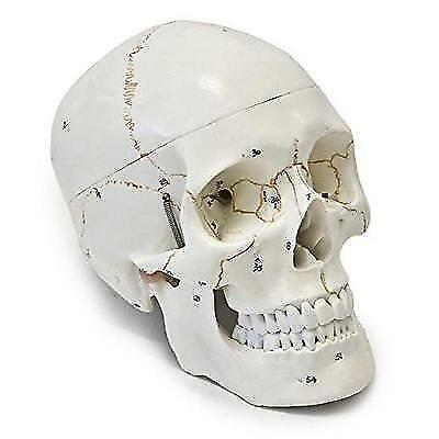 Wellden Medical Anatomical Human Skull Model, 3-part, Numbered, Life Size New