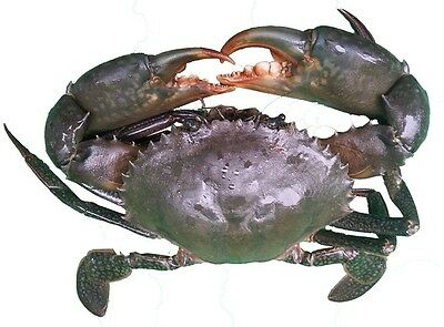 Live Mud Crab For Sale!!