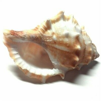 Natural Seashells Common Frog Shells Sea Shells Conch DIY Crafts Decor