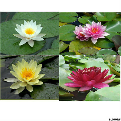 nenuphar   lot de 3  plante bassin nymphea pond