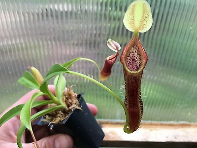 Nepenthes Singalana BE-3170 Live Carnivorous Pitcher Plant