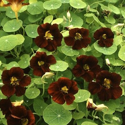 Kings Seeds - Nasturtium Black Velvet - 30 Seeds
