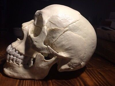 Wellden Medical Anatomical Adult Osteopathic Skull Model, 22-Part, Life Size