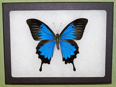 "Real Framed Butterfly, Papilio Ulysses Ulysses ""Mountain Blue"" in Riker Mount"