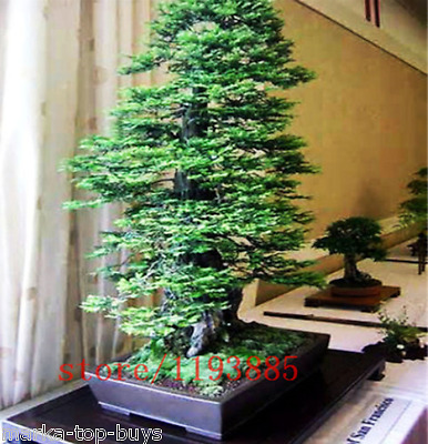 100pcs/bag Coast Redwood Seeds Sequoia sempervirens Bonsai tree ,tree seeds,Deco