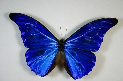 1 Morpho cacica male in A- condition