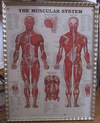 The MUSCULAR SYSTEM Framed Poster Anatomical chart Anterior & posterior