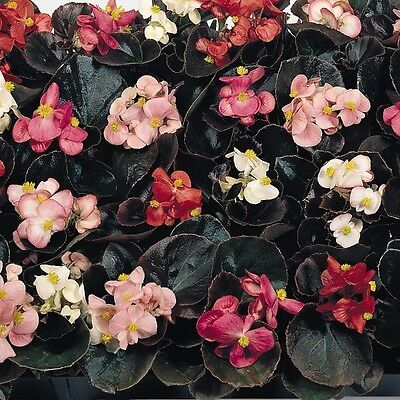 Begonia - Cocktail Mixed F1 - 500 Pelleted Seeds