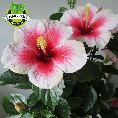 100 Giant Hibiscus Flower Seeds Mixed Semenatsvety Perennial Garden Plant Seed