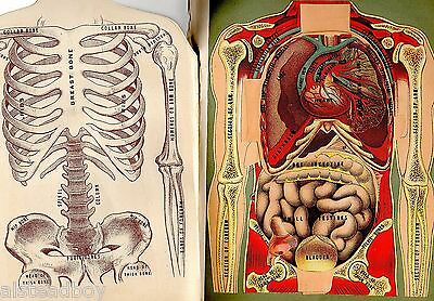 Doctor Physician Medical Book Fold Out Internal Organs Skeleton Visible Body