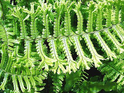 """""""Dryopteris Affinis Cristata The King Fern"""" Plant in 13 cm Pot"""