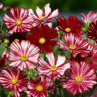Cosmos - Velouette - 100 Seeds